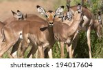 impala in the kruger national... | Shutterstock . vector #194017604