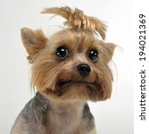 Yorkshire Terrier Portrait In...