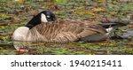 Canada Goose  Branta Canadensis ...