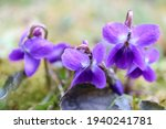 Purple Wild Violets In The...