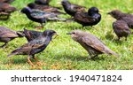 A Adult Starling Feeds A Young...