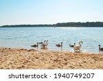Family Of White Swans On Sandy...