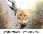 Red Fluffy Cat Looki At Camera...