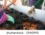 Wine Grapes Being Sorted On...