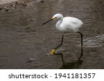 A Great Snowy Egret Finding...