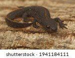 A full body closeup on a terrestrial juvenile of the Antalolian crested newt, Triturus anatolicus