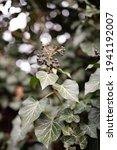Garden Ivy Plant Berries...