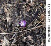 A Small Violet Crocus Flower...