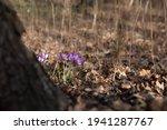 Violet Crocus Flowers Among...