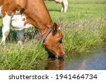 Cow Drinking  Head Down  Water...