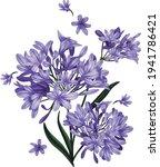 Violet Agapanthus Flowers...