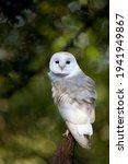 Barn Owl Perching On A Branch