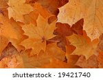 orange maple leaf close up | Shutterstock . vector #19421740
