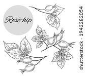 Vector Illustration Of Rose Hip ...