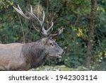 Majestic Deer Male In The...
