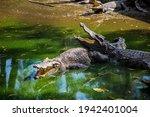 Two Crocodiles In The Bright...