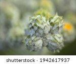 Flora Of Gran Canaria    Buds...