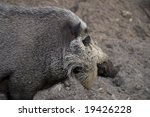 Close Up Of Bearded Pig  Sus...