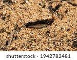 Wingless Grasshopper ...