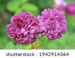 Mauve Hybrid China Rose  Rosa ...