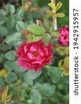 Red Shrub Rose  Rosa  Cardinal...