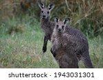A Young Eastern Grey Kangaroo ...