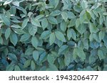 Foliage with Elaeagnus pungens,  thorny olive, spiny oleaster and silverthorn, oleaster