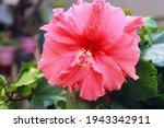 Chinese Hibiscus  Hibiscus Rosa ...