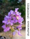 Flower Of Purple Thai Potpourri