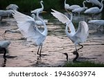 Great White Egrets Fighting For ...
