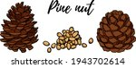Hand drawn pine nuts vector illustration. Use for cosmetic products or food. Sketch style vector organic food illustration.