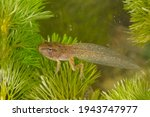 Small photo of Beautiful under water picture of common grass frog metamorphosing larva with close up of the nearly juvenile frog in between ceratophyllum demersum aquatic plants with four legs completely developed