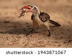 Red Billed Hornbill. Catched A...