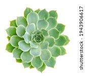 Light Green Echeveria Succulent ...