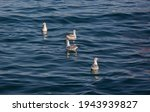 Seagulls Swimming In The...