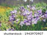 Blue Agapanthus Flowers. Retro...