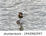 Great Crested Grebe Face On To...