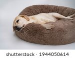 A cute yellow labrador is lying ...