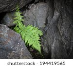 Fern Leaf Growing Among The...