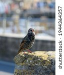 A Young Starling Sitting On A...