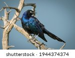 Ruppell Long Tailed Starling On ...