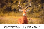 A Beautiful Impala Antelope In...