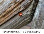 A Closeup Of A Ladybug On A...