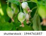 Gooseberry Berries On Berry...