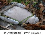 A Dead Grey Turtle Dove On The...