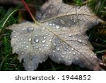 Leaf in the dew - stock photo