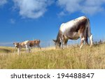 grazing cows with calf on the... | Shutterstock . vector #194488847