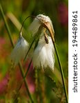 Small photo of common cottongrass - common cottongrass