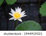 White Lotus Flower  Water Lily  ...
