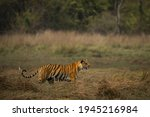 Bengal Tiger Walk In Their...